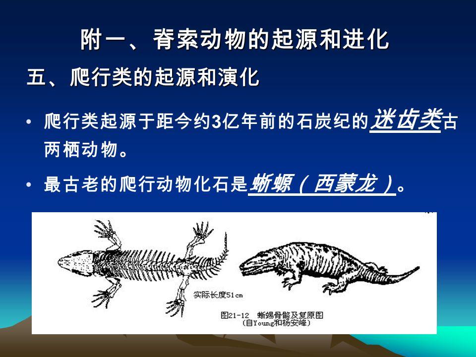爬行类起源于距今约 3 亿年前的石炭纪的 迷齿类 古 两栖动物。 最古老的爬行动物化石是 蜥螈(西蒙龙) 。 附一、脊索动物的起源和进化 五、爬行类的起源和演化