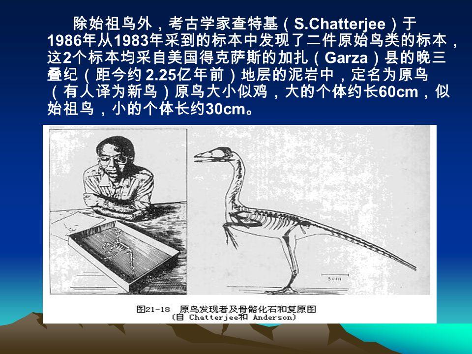 除始祖鸟外,考古学家查特基( S.Chatterjee )于 1986 年从 1983 年采到的标本中发现了二件原始鸟类的标本, 这 2 个标本均采自美国得克萨斯的加扎( Garza )县的晚三 叠纪(距今约 2.25 亿年前)地层的泥岩中,定名为原鸟 (有人译为新鸟)原鸟大小似鸡,大的个体约长 60cm ,似 始祖鸟,小的个体长约 30cm 。