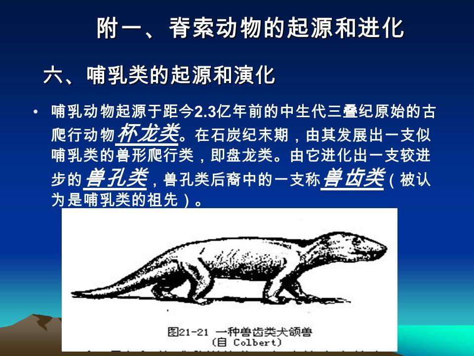 哺乳动物起源于距今 2.3 亿年前的中生代三叠纪原始的古 爬行动物 杯龙类 。在石炭纪末期,由其发展出一支似 哺乳类的兽形爬行类,即盘龙类。由它进化出一支较进 步的 兽孔类 ,兽孔类后裔中的一支称 兽齿类 (被认 为是哺乳类的祖先)。 附一、脊索动物的起源和进化 六、哺乳类的起源和演化