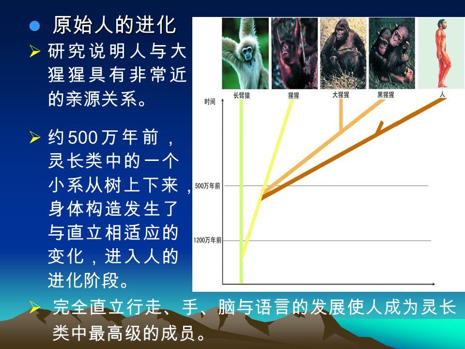  研究说明人与大 猩猩具有非常近 的亲源关系。 原始人的进化 原始人的进化  约 500 万年前, 灵长类中的一个 小系从树上下来, 身体构造发生了 与直立相适应的 变化,进入人的 进化阶段。  完全直立行走、手、脑与语言的发展使人成为灵长 类中最高级的成员。