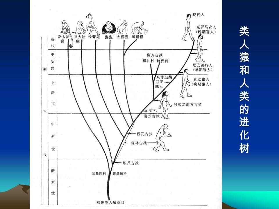 类人猿和人类的进化树类人猿和人类的进化树