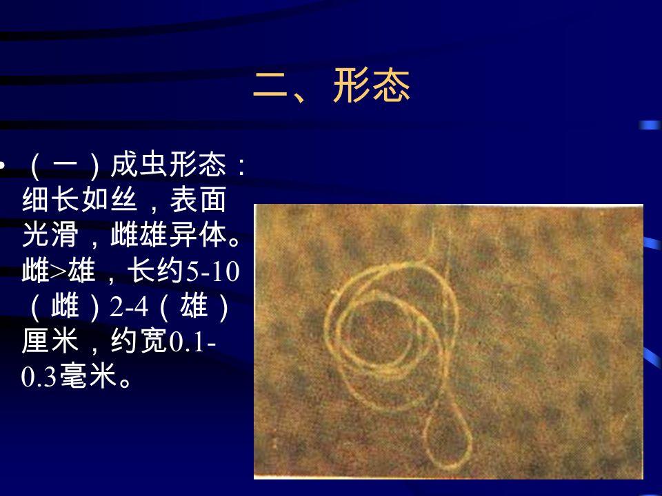 二、形态 (一)成虫形态: 细长如丝,表面 光滑,雌雄异体。 雌 > 雄,长约 5-10 (雌) 2-4 (雄) 厘米,约宽 0.1- 0.3 毫米。