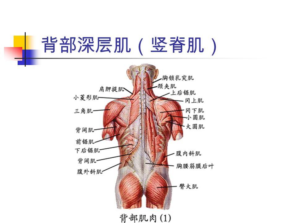 背部深层肌(竖脊肌)