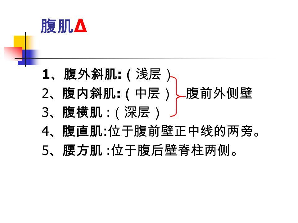 腹肌 Δ 1 、腹外斜肌 : (浅层) 2 、腹内斜肌 : (中层) 腹前外侧壁 3 、腹横肌 : (深层) 4 、腹直肌 : 位于腹前壁正中线的两旁。 5 、腰方肌 : 位于腹后壁脊柱两侧。