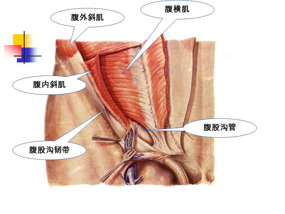 腹股沟管 腹股沟韧带 腹横肌 腹外斜肌 腹内斜肌