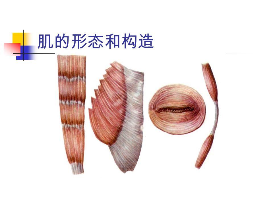 肌的形态和构造