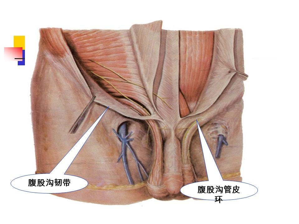 腹股沟韧带 腹股沟管皮 环