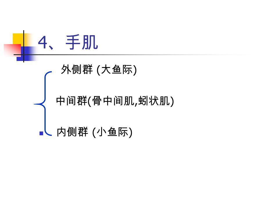 4 、手肌 外侧群 ( 大鱼际 ) 中间群 ( 骨中间肌, 蚓状肌 ) 内侧群 ( 小鱼际 )