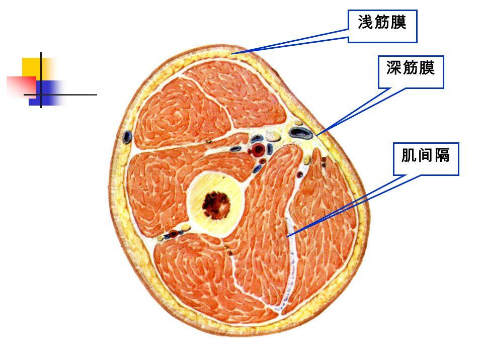 深筋膜 浅筋膜 肌间隔