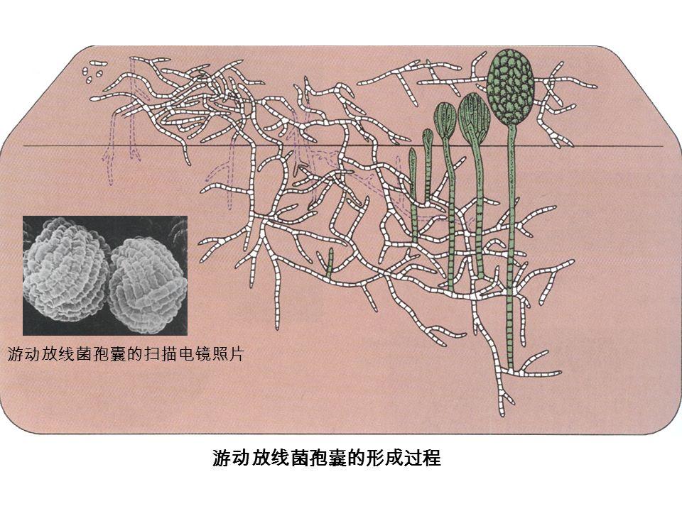 游动放线菌孢囊的形成过程 游动放线菌孢囊的扫描电镜照片