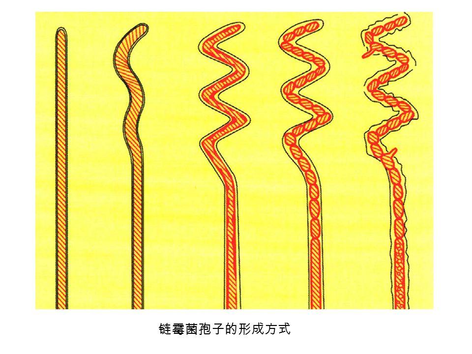 链霉菌孢子的形成方式
