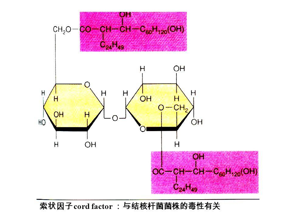 索状因子 cord factor :与结核杆菌菌株的毒性有关