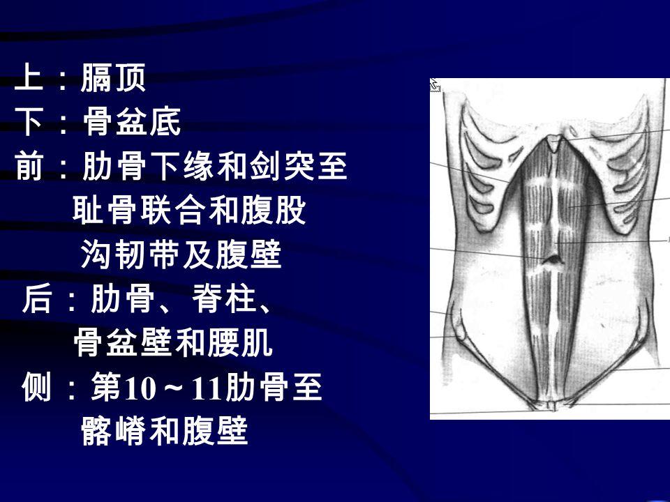 上:膈顶 下:骨盆底 前:肋骨下缘和剑突至 耻骨联合和腹股 沟韧带及腹壁 后:肋骨、脊柱、 骨盆壁和腰肌 侧:第 10 ~ 11 肋骨至 髂嵴和腹壁