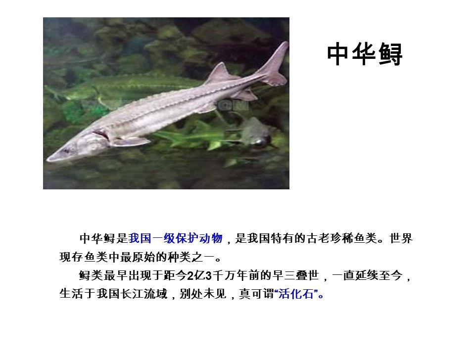 中华鲟 中华鲟是我国一级保护动物,是我国特有的古老珍稀鱼类。世界 现存鱼类中最原始的种类之一。 鲟类最早出现于距今 2 亿 3 千万年前的早三叠世,一直延续至今, 生活于我国长江流域,别处未见,真可谓 活化石 。