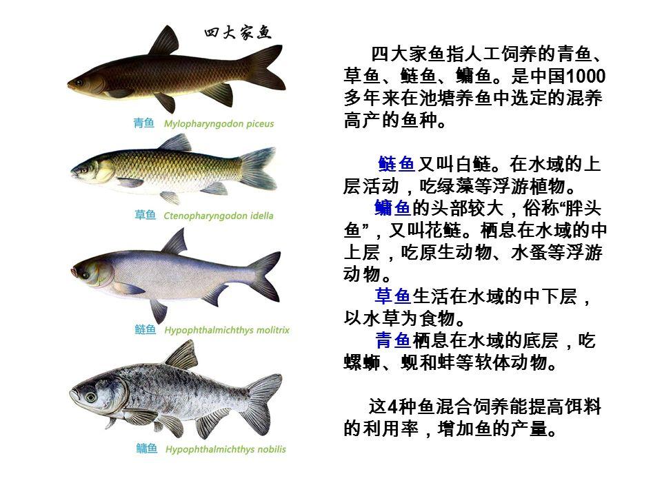 四大家鱼指人工饲养的青鱼、 草鱼、鲢鱼、鳙鱼。是中国 1000 多年来在池塘养鱼中选定的混养 高产的鱼种。 鲢鱼又叫白鲢。在水域的上 层活动,吃绿藻等浮游植物。 鳙鱼的头部较大,俗称 胖头 鱼 ,又叫花鲢。栖息在水域的中 上层,吃原生动物、水蚤等浮游 动物。 草鱼生活在水域的中下层, 以水草为食物。 青鱼栖息在水域的底层,吃 螺蛳、蚬和蚌等软体动物。 这 4 种鱼混合饲养能提高饵料 的利用率,增加鱼的产量。