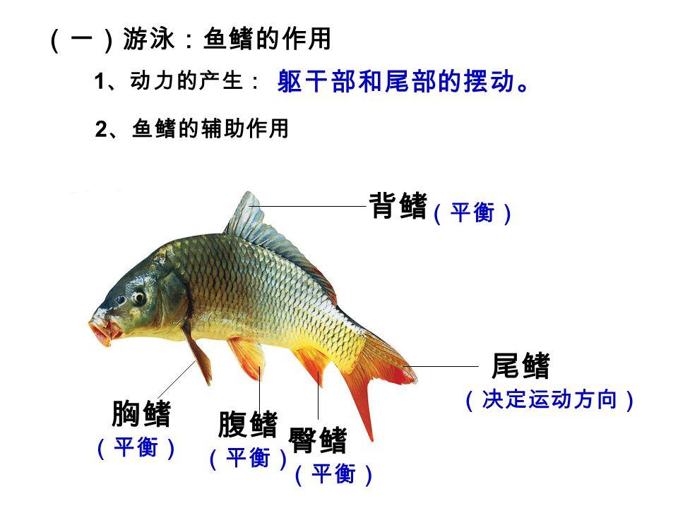 (一)游泳:鱼鳍的作用 1 、动力的产生: 2 、鱼鳍的辅助作用 躯干部和尾部的摆动。 背鳍 胸鳍 腹鳍 尾鳍 臀鳍 (平衡) (决定运动方向)
