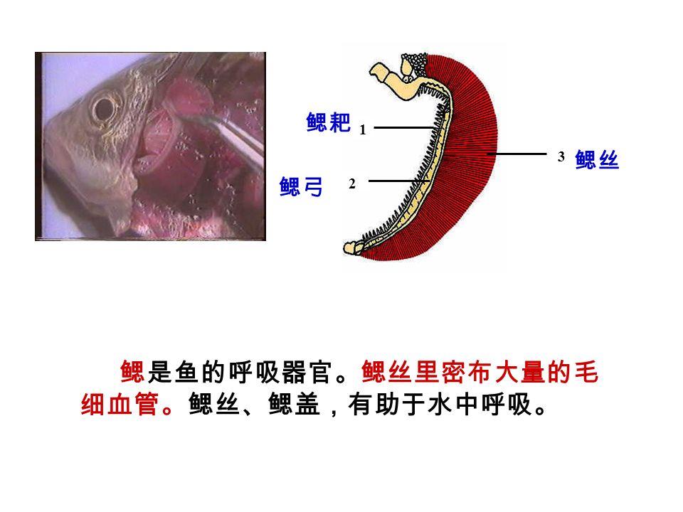 鳃是鱼的呼吸器官。鳃丝里密布大量的毛 细血管。鳃丝、鳃盖,有助于水中呼吸。 2 3 1 鳃耙 鳃弓 鳃丝