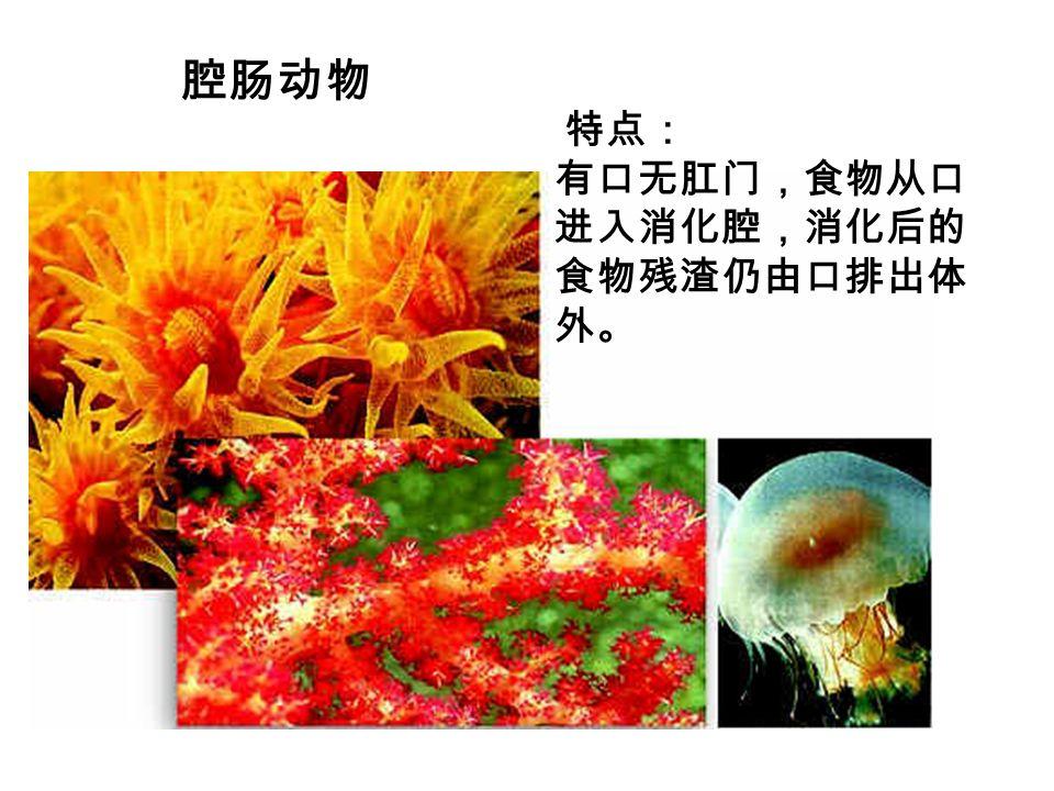 腔肠动物 特点: 有口无肛门,食物从口 进入消化腔,消化后的 食物残渣仍由口排出体 外。