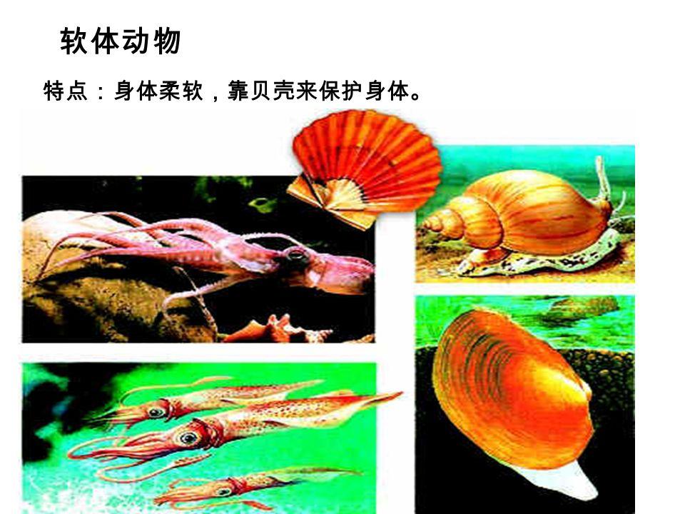 软体动物 特点:身体柔软,靠贝壳来保护身体。