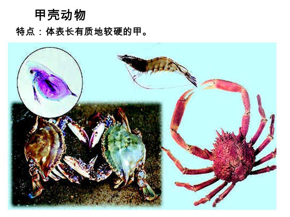 甲壳动物 特点:体表长有质地较硬的甲。
