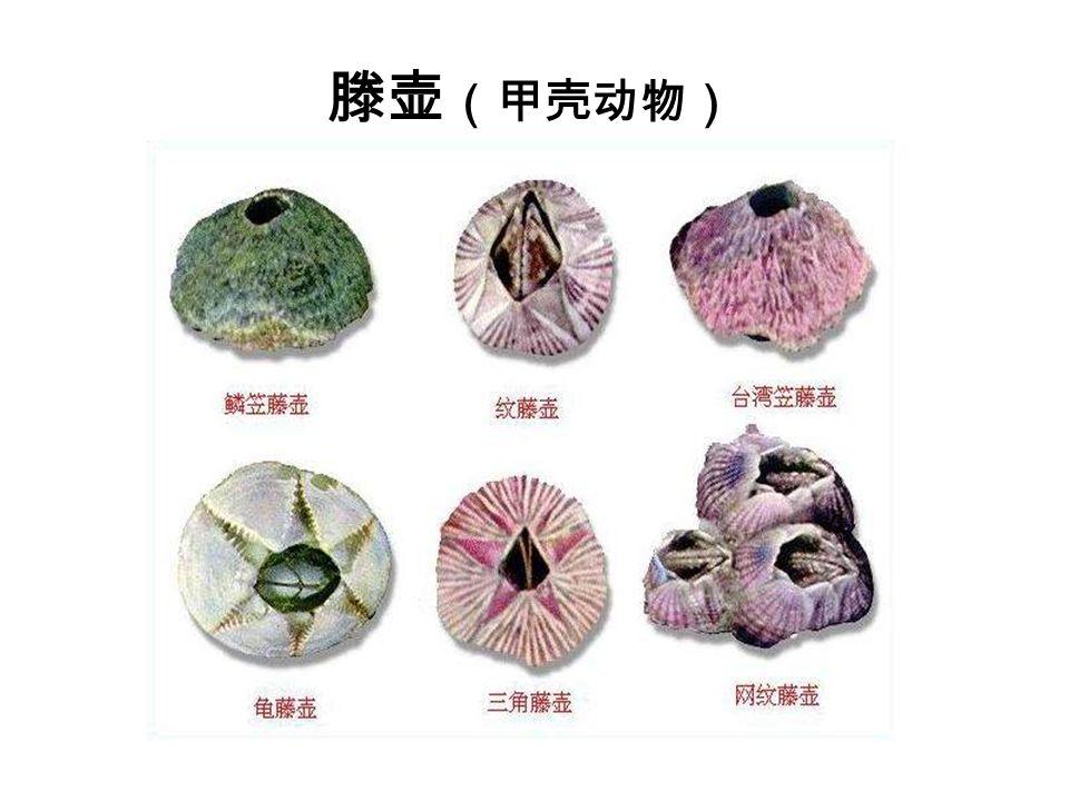 滕壶 (甲壳动物)