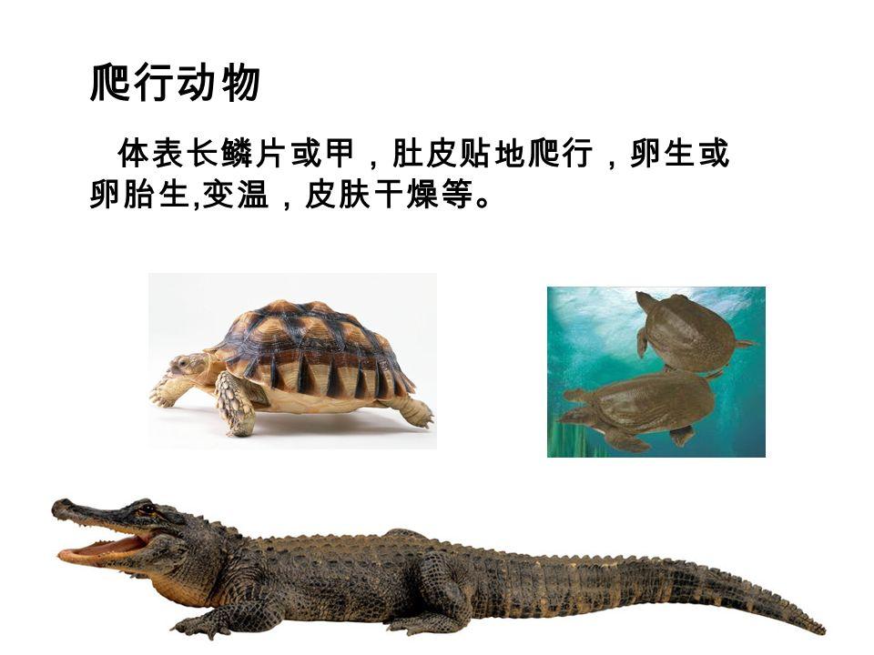 爬行动物 体表长鳞片或甲,肚皮贴地爬行,卵生或 卵胎生, 变温,皮肤干燥等。
