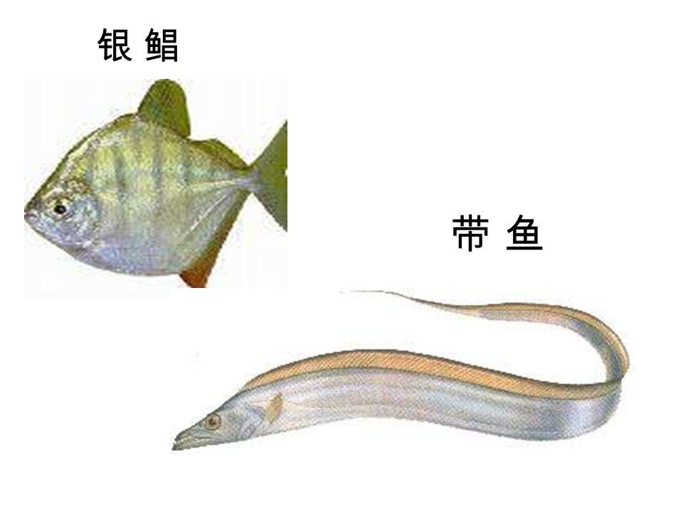 银 鲳银 鲳 带 鱼带 鱼
