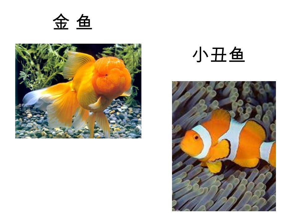 金 鱼金 鱼 小丑鱼