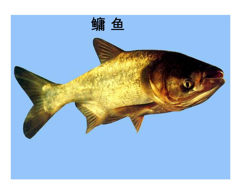 鳙 鱼鳙 鱼