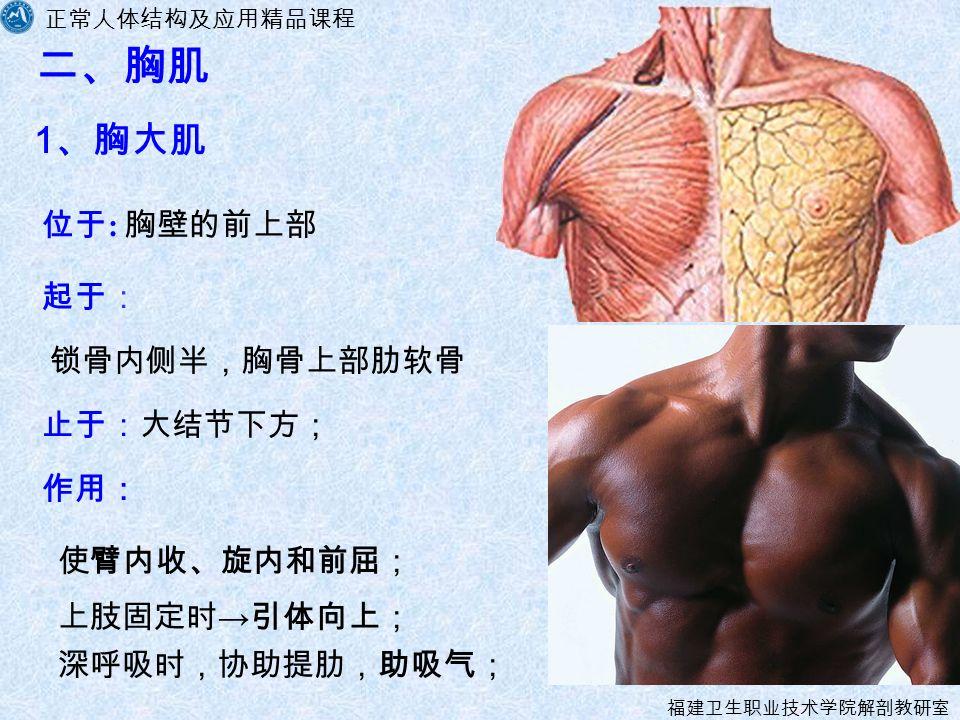正常人体结构及应用精品课程 福建卫生职业技术学院解剖教研室 二、胸肌 1 、胸大肌 起于: 作用: 深呼吸时,协助提肋,助吸气; 止于:大结节下方; 位于 : 胸壁的前上部 锁骨内侧半,胸骨上部肋软骨 使臂内收、旋内和前屈; 上肢固定时 → 引体向上;