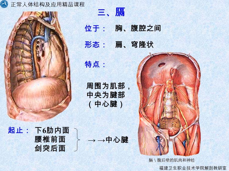 正常人体结构及应用精品课程 福建卫生职业技术学院解剖教研室 三、 膈 形态: 下 6 肋内面 腰椎前面 剑突后面 位于: → → 中心腱 特点: 起止: 周围为肌部, 中央为腱部 (中心腱) 扁、穹隆状 胸、腹腔之间