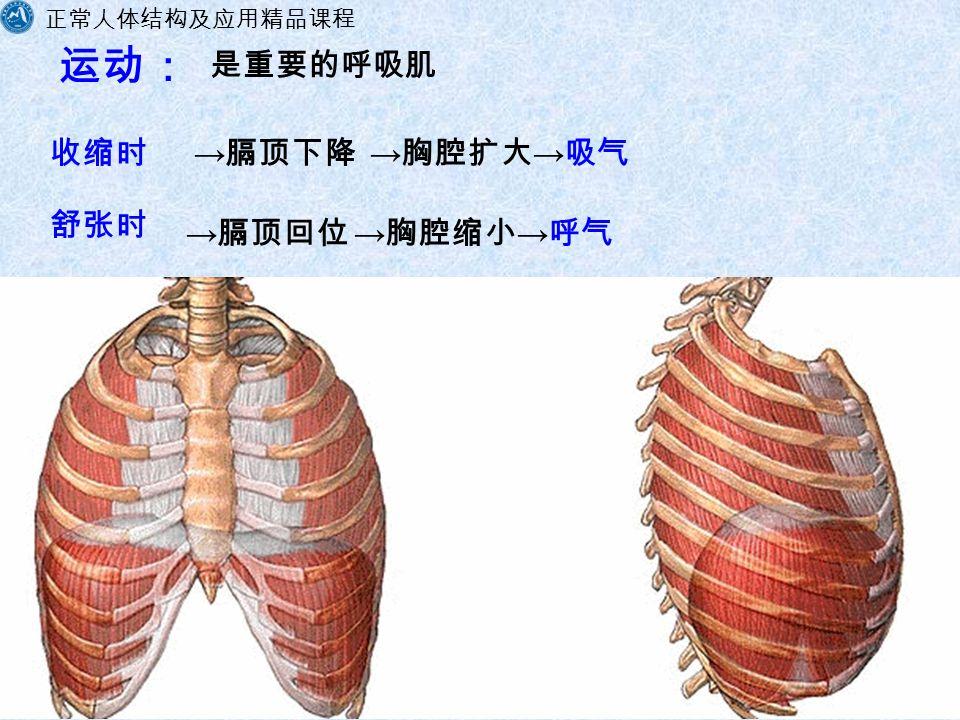 正常人体结构及应用精品课程 福建卫生职业技术学院解剖教研室 运动: 收缩时 → 胸腔扩大 → 吸气 → 胸腔缩小 → 呼气 → 膈顶回位 → 膈顶下降 是重要的呼吸肌 舒张时