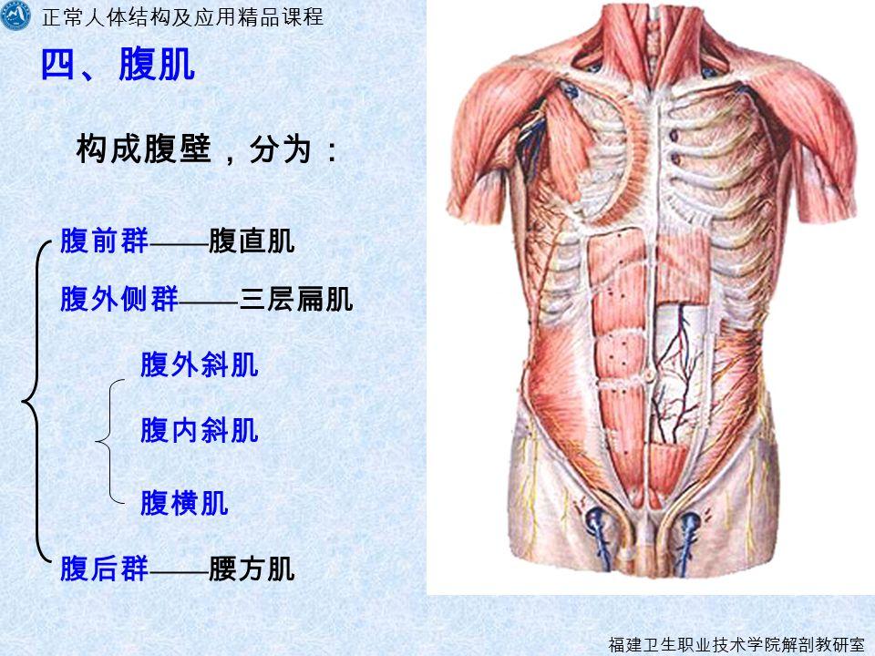 正常人体结构及应用精品课程 福建卫生职业技术学院解剖教研室 四、腹肌 构成腹壁,分为: 腹前群 —— 腹直肌 腹外侧群 —— 三层扁肌 腹后群 —— 腰方肌 腹外斜肌 腹内斜肌 腹横肌
