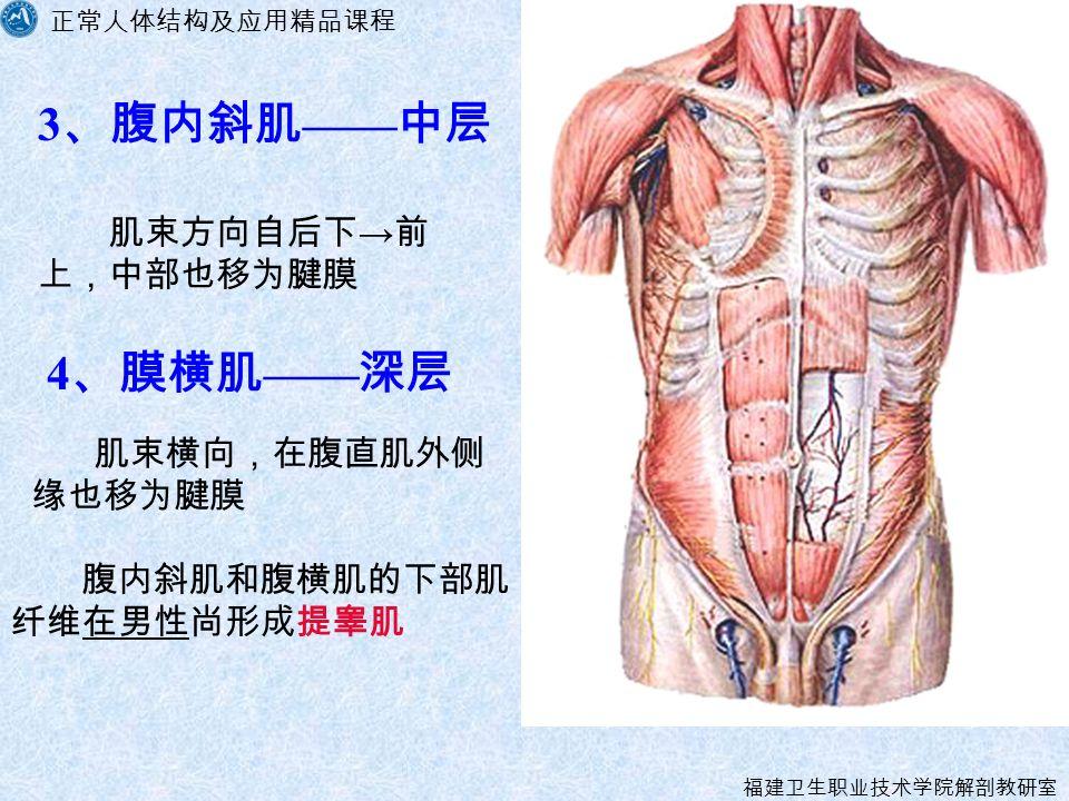 正常人体结构及应用精品课程 福建卫生职业技术学院解剖教研室 肌束方向自后下 → 前 上,中部也移为腱膜 4 、膜横肌 —— 深层 肌束横向,在腹直肌外侧 缘也移为腱膜 3 、腹内斜肌 —— 中层 腹内斜肌和腹横肌的下部肌 纤维在男性尚形成提睾肌