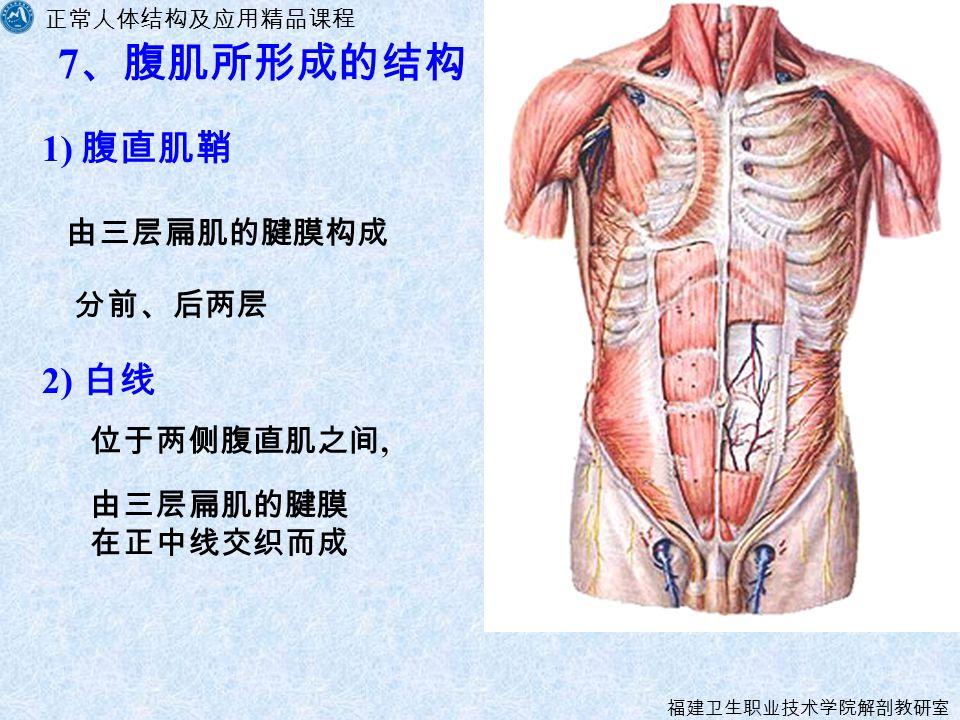 正常人体结构及应用精品课程 福建卫生职业技术学院解剖教研室 7 、腹肌所形成的结构 1) 腹直肌鞘 由三层扁肌的腱膜构成 2) 白线 位于两侧腹直肌之间, 分前、后两层 由三层扁肌的腱膜 在正中线交织而成