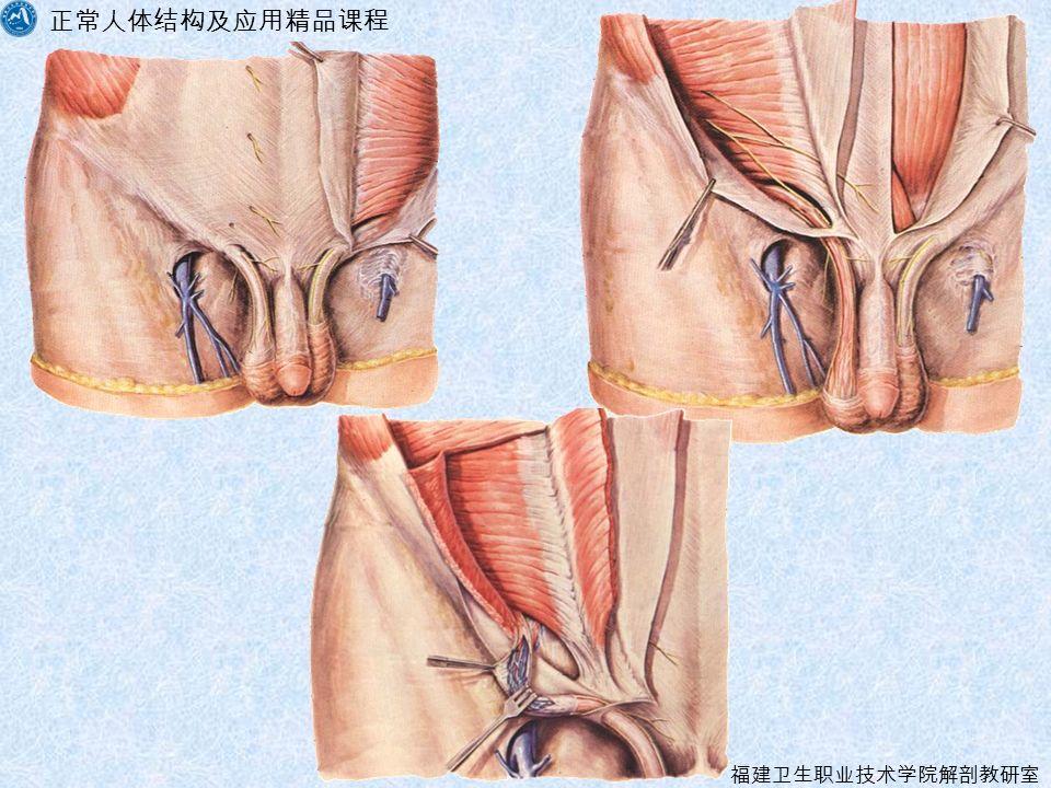 正常人体结构及应用精品课程 福建卫生职业技术学院解剖教研室