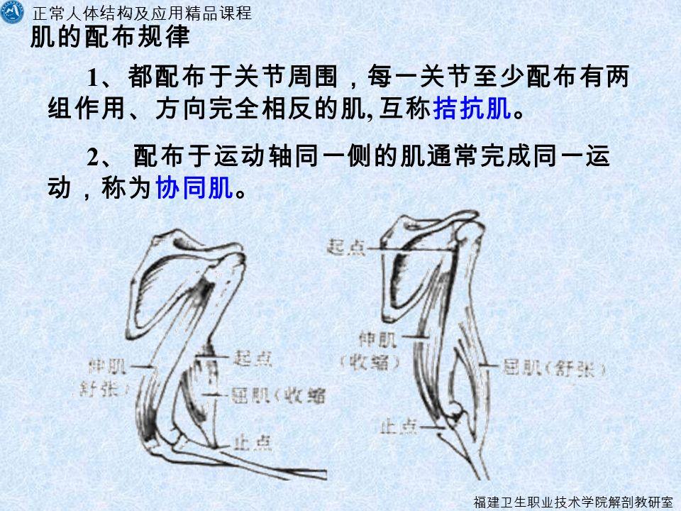 正常人体结构及应用精品课程 福建卫生职业技术学院解剖教研室 肌的配布规律 1 、都配布于关节周围,每一关节至少配布有两 组作用、方向完全相反的肌, 互称拮抗肌。 2 、 配布于运动轴同一侧的肌通常完成同一运 动,称为协同肌。