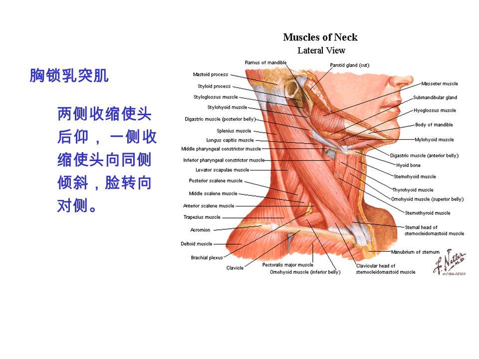 胸锁乳突肌 两侧收缩使头 后仰, 一侧收 缩使头向同侧 倾斜,脸转向 对侧。
