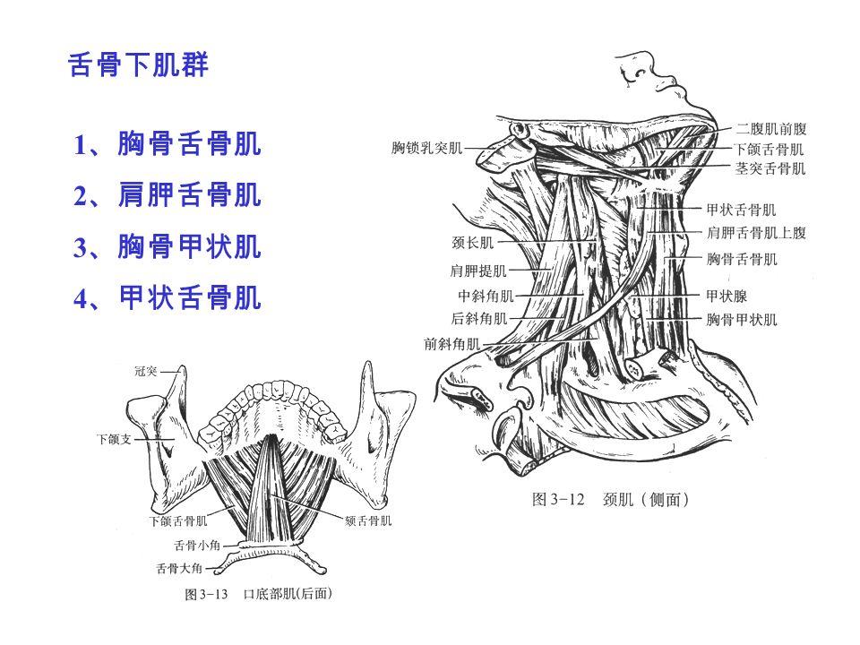 舌骨下肌群 1 、胸骨舌骨肌 2 、肩胛舌骨肌 3 、胸骨甲状肌 4 、甲状舌骨肌