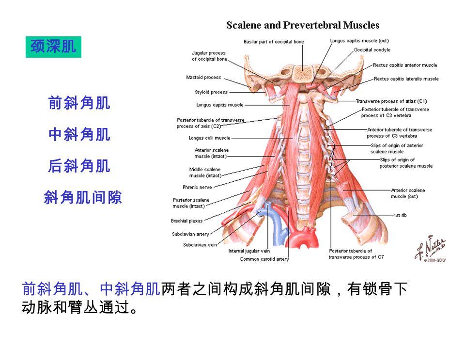 前斜角肌 中斜角肌 后斜角肌 斜角肌间隙 颈深肌 前斜角肌、中斜角肌两者之间构成斜角肌间隙,有锁骨下 动脉和臂丛通过。