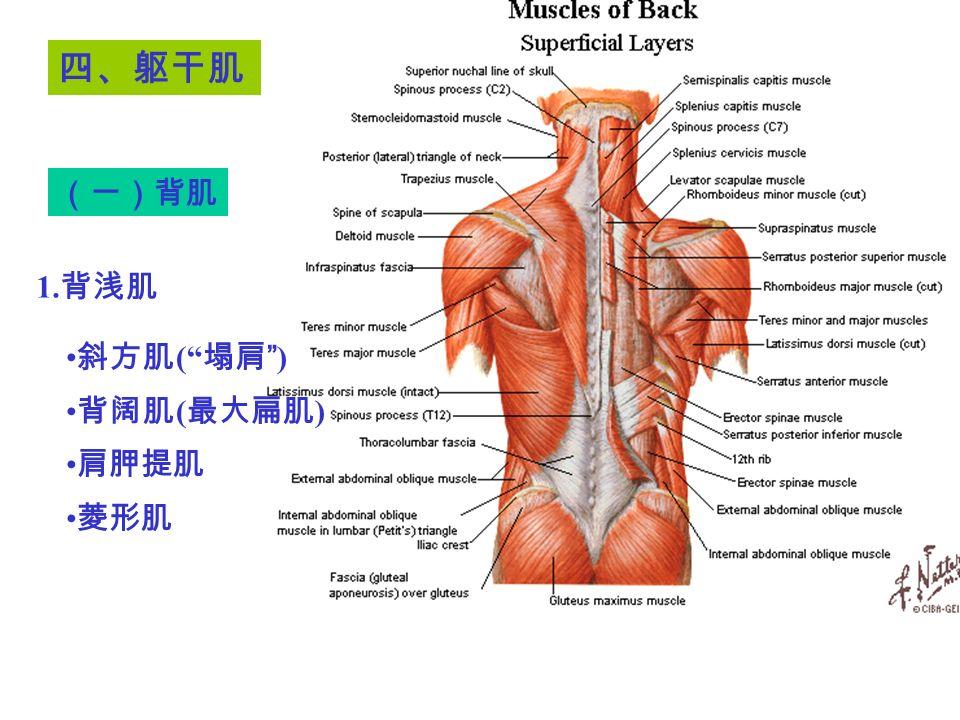 斜方肌 ( 塌肩 ) 背阔肌 ( 最大扁肌 ) 肩胛提肌 菱形肌 四、躯干肌 (一)背肌 1. 背浅肌