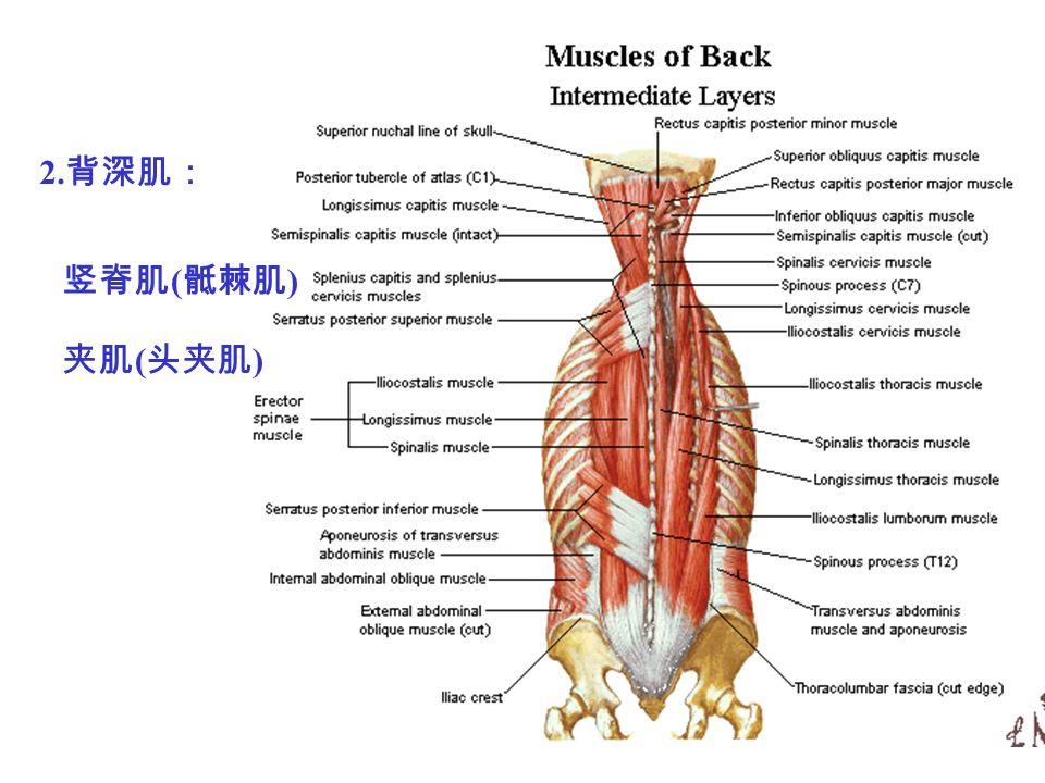 竖脊肌 ( 骶棘肌 ) 夹肌 ( 头夹肌 ) 2. 背深肌: