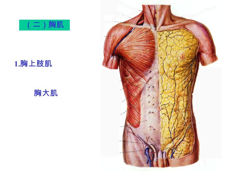 胸大肌 (二)胸肌 1. 胸上肢肌