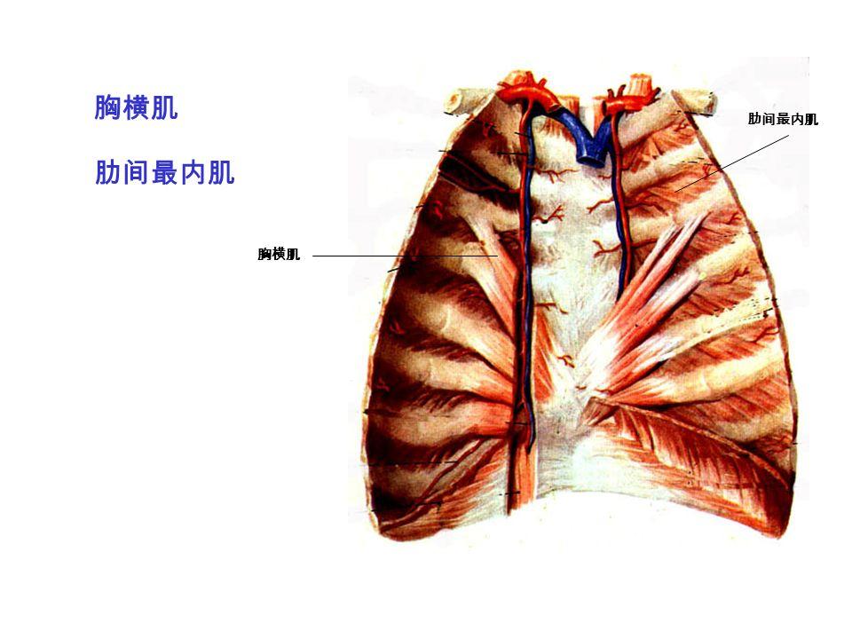 胸横肌 肋间最内肌 胸横肌 肋间最内肌