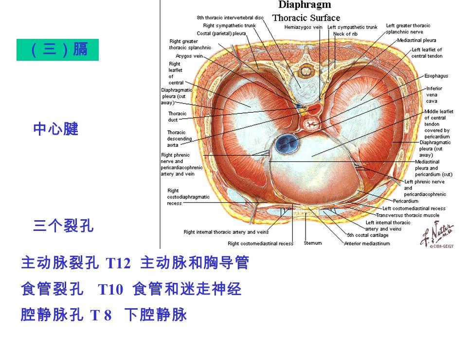 (三)膈 主动脉裂孔 T12 主动脉和胸导管 食管裂孔 T10 食管和迷走神经 腔静脉孔 T 8 下腔静脉 中心腱 三个裂孔