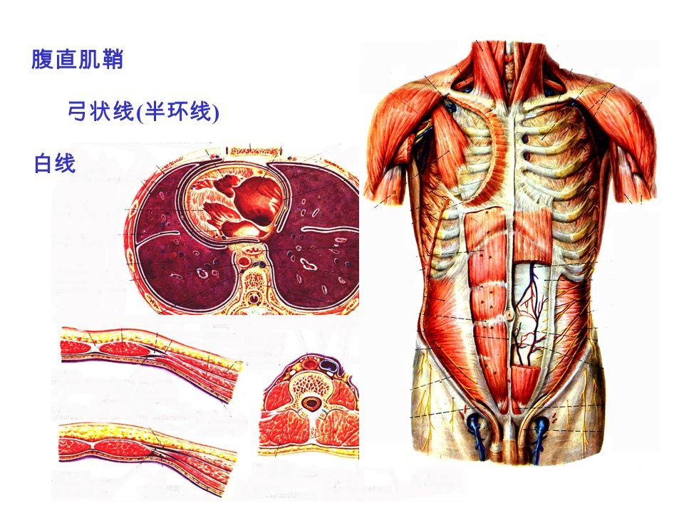 腹直肌鞘 弓状线 ( 半环线 ) 白线