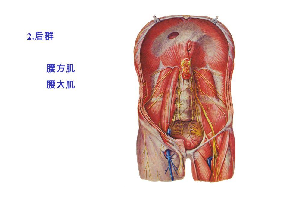 2. 后群 腰方肌 腰大肌
