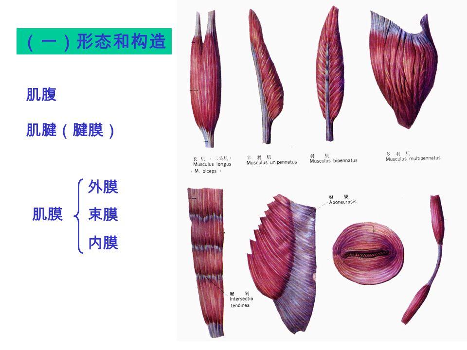 (一)形态和构造 外膜 束膜 内膜 肌腹 肌腱(腱膜) 肌膜