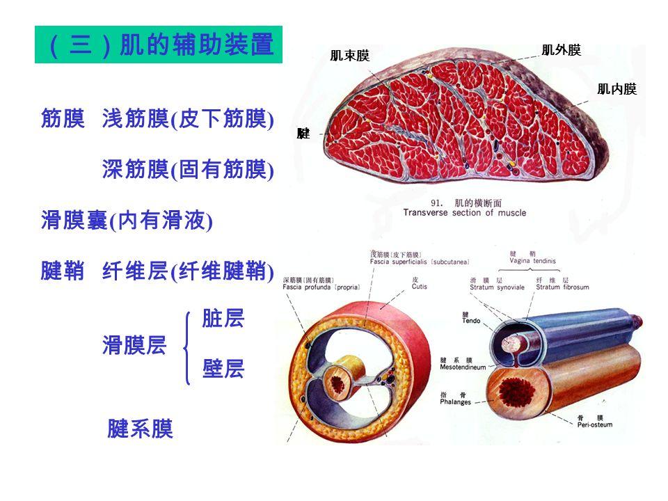 筋膜 浅筋膜 ( 皮下筋膜 ) 深筋膜 ( 固有筋膜 ) 滑膜囊 ( 内有滑液 ) 腱鞘 纤维层 ( 纤维腱鞘 ) 滑膜层 (三)肌的辅助装置 肌内膜 肌外膜 腱 肌束膜 脏层 壁层 腱系膜