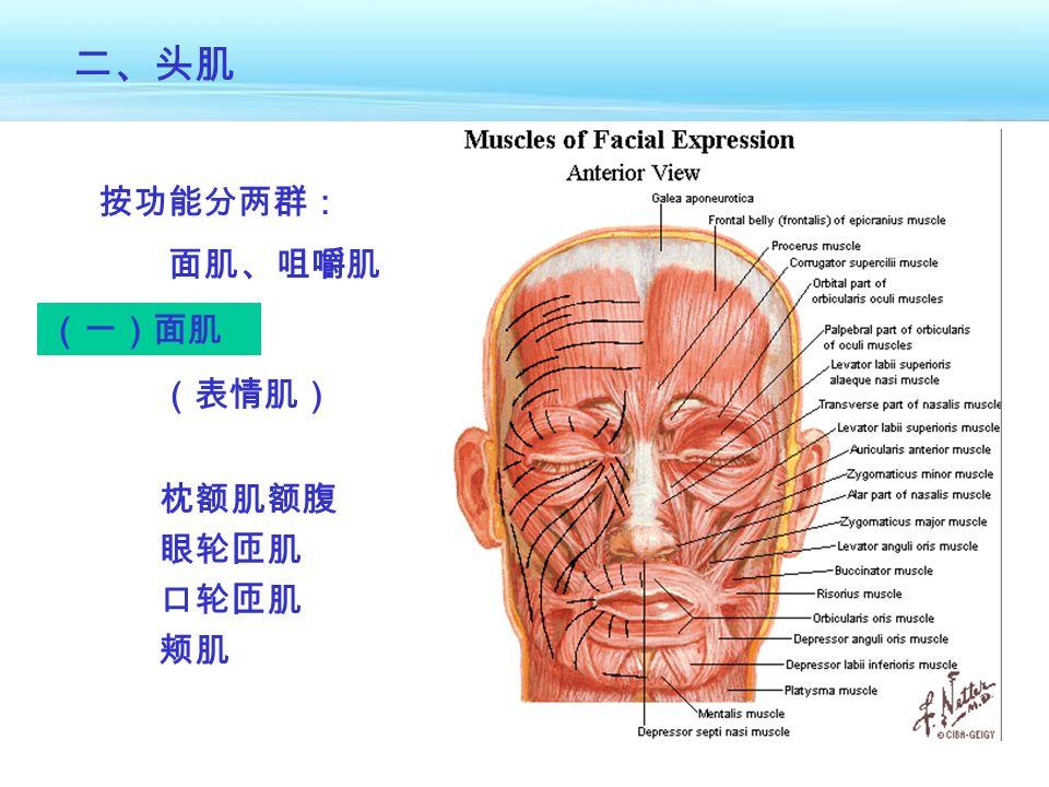 (一)面肌 二、头肌 (表情肌) 枕额肌额腹 眼轮匝肌 口轮匝肌 颊肌 按功能分两群: 面肌、咀嚼肌